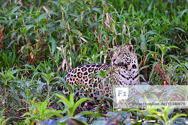 Jaguar (Panthera onca)  Pantanal  Mato Grosso  Brazil  South America