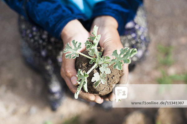 An Afghan farmer holds a seedling carefully in her hands in Bamiyan Province  Afghanistan  Asia