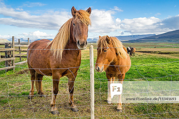 An adult and juvenile Icelandic horse in a field in rural Iceland  Polar Regions