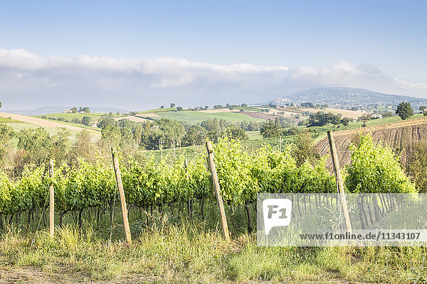 Vineyards near to Montefalco  known for its red wine of Sagrantino  Val di Spoleto  Umbria  Italy  Europe