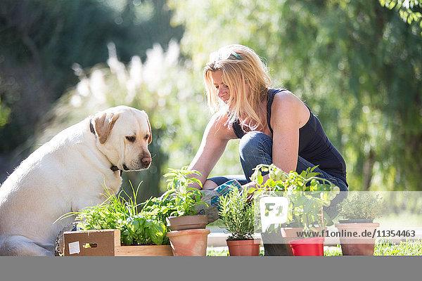 Labrador dog watching woman tending plants in garden