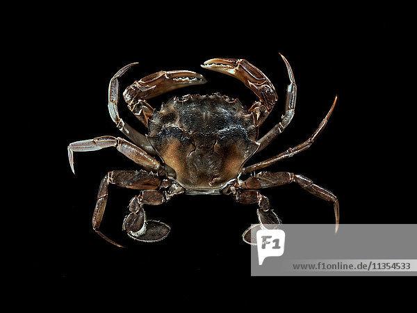 Draufsicht auf die Krabbe vor schwarzem Hintergrund
