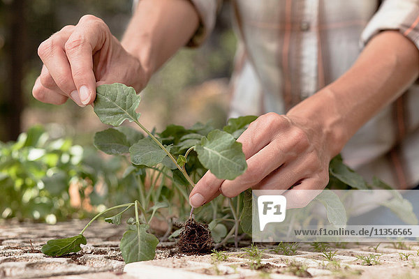 Woman tending to young plants in garden  close-up
