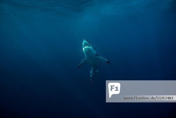 Der Weiße Hai (Carcharodon Carcharias) schwimmt nahe der Meeresoberfläche