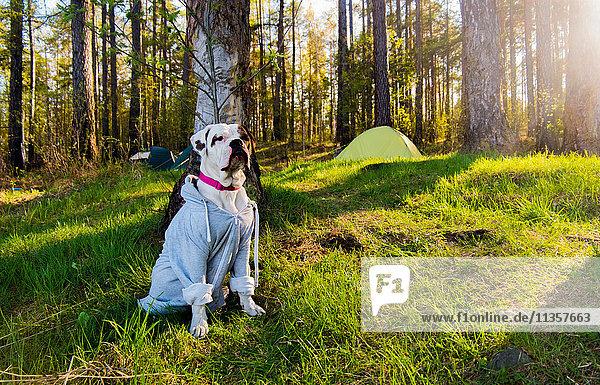 Porträt einer Bulldogge im Wald mit Kapuze  Russland