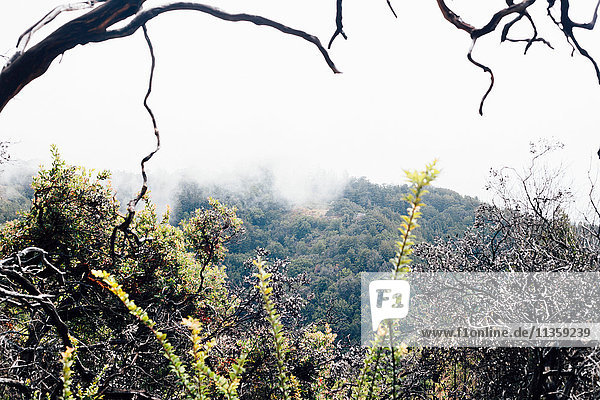 Landscape with tree branch and misty forest  Big Sur  California  USA