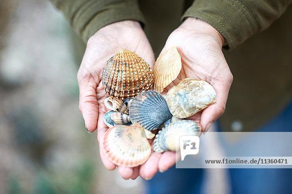 Woman's hands holding seashells  Devon  UK