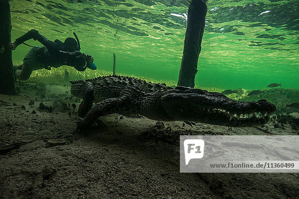 Underwater photographer chasing american croc (Crocodylus acutus) on seabed at Chinchorro Banks  Mexico