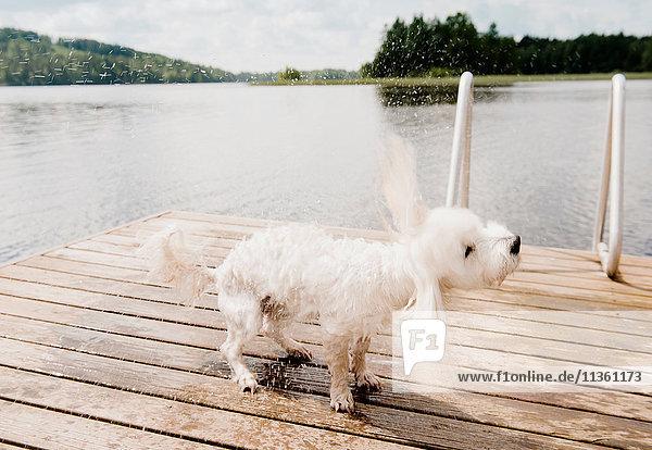 Nasser coton de tulear Hund  der nach dem Schwimmen am Pier zittert  Orivesi  Finnland