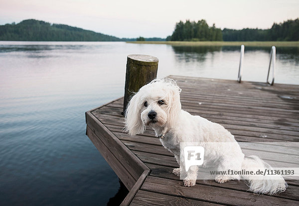 Porträt eines niedlichen coton de tulear Hundes am windigen Seepier sitzend  Orivesi  Finnland Porträt eines niedlichen coton de tulear Hundes am windigen Seepier sitzend, Orivesi, Finnland