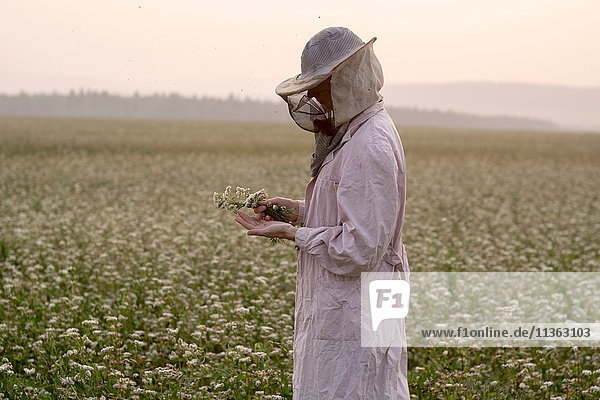 Bienenzüchterin inspiziert Pflanze im Blumenfeld  Ural  Russland