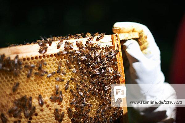 Imker mit Bienenstockrahmen  Nahaufnahme