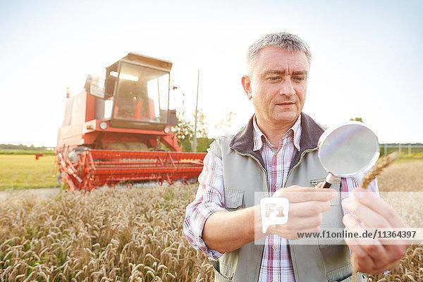 Landwirt im Weizenfeld schaut durch eine Lupe auf die Ähre