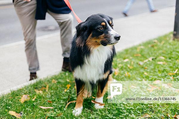 Dog on grass by city sidewalk