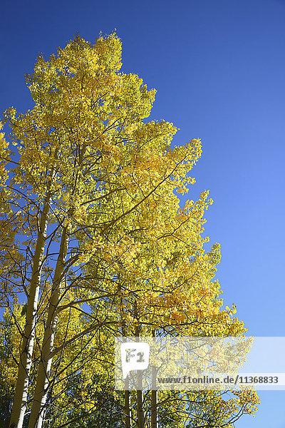 USA  Colorado  Kenosha Pass  Low angle view of autumn aspen trees against blue sky