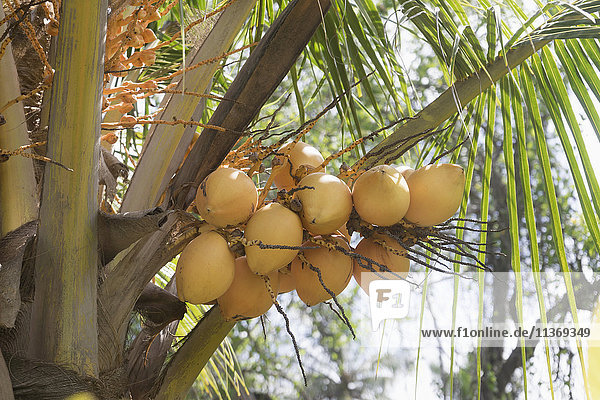 Fresh coconuts hanging on palm tree  Tangalle  South Province  Sri Lanka Fresh coconuts hanging on palm tree, Tangalle, South Province, Sri Lanka