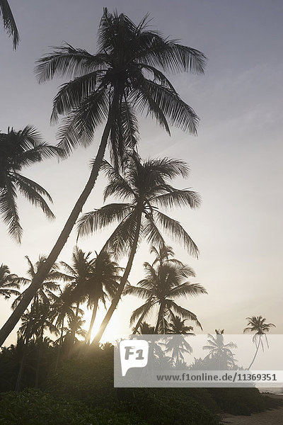 Palm trees on beach  Tangalle  South Province  Sri Lanka
