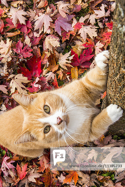 Cat clawing tree in autumn leaves