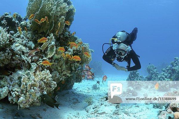 Taucher mit einem Schwarm Juwelen-Fahnenbarsche (Pseudanthias squamipinnis)  Shark Reef  Yolanda Reef  Ras Muhammed Nationalpark  Scharm El-Scheich  Rotes Meer  Ägypten  Afrika