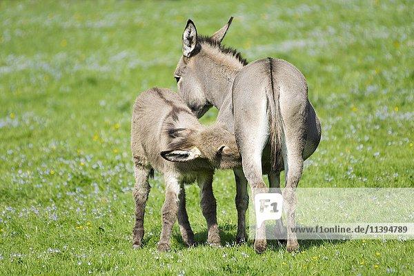 Domestic donkeys (Equus asinus asinus)  mare suckling foal  Germany  Europe