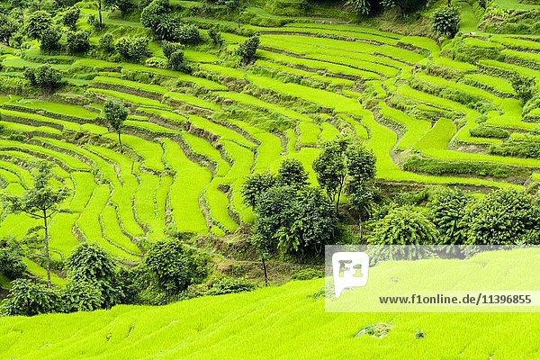 Landwirtschaftliche Landschaft  grüne Terrasse Reisfelder  Ober Marsyangdi Tal  Bahundanda  Lamjung  Nepal  Asien