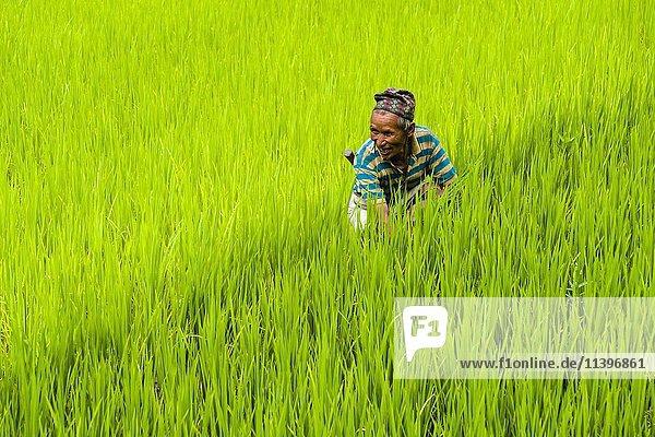 Man arbeitet in der grünen Terrasse Reisfelder  Ober Marsyangdi Tal  Bahundanda  Lamjung  Nepal  Asien