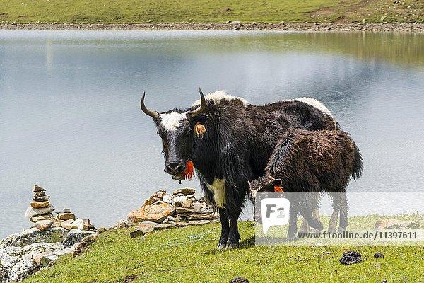 Yaks (Bos mutus)  Alttier mit Jungtier weiden auf Wiese am Eissee  Braga  Manang  Nepal  Asien