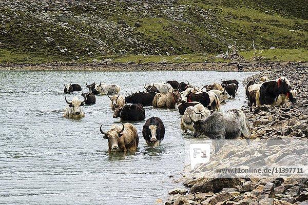Herde von Yaks (Bos mutus) im Wasser  Eissee  Braga  Manang  Nepal  Asien