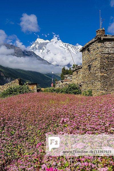 Bauernhof mit rosa blühenden Buchweizenfeldern  Oberes Marsyangdi Tal  Berg Annapurna 3  Ghyaru  Manang  Nepal  Asien