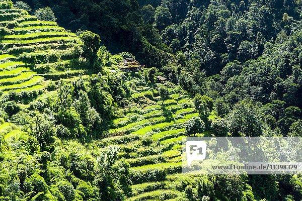 Agrarandschaft  grüne Reisterrassen und Gerstenfelder  Bauernhof im oberen Modi Khola Tal  Landruk  Kaski  Nepal  Asien
