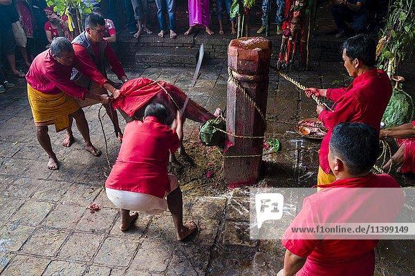 Wasserbüffel Opferung  Priester mit Schwert  Hindu-Fest Dashain  Gorakhnath Tempel  Gorkha  Gorkha District  Nepal  Asien