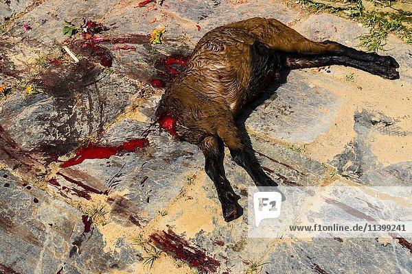 Tote Ziege geopfert am Khadga Devi Mandir-Tempel  Darsain Hindu Festival  Bandipur  Tanahun  Nepal  Asien