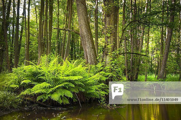 Streambed of The Schlaube River with ferns (Pteridium aquilinum)  Schlaube Valley Nature Park  Brandenburg  Germany  Europe