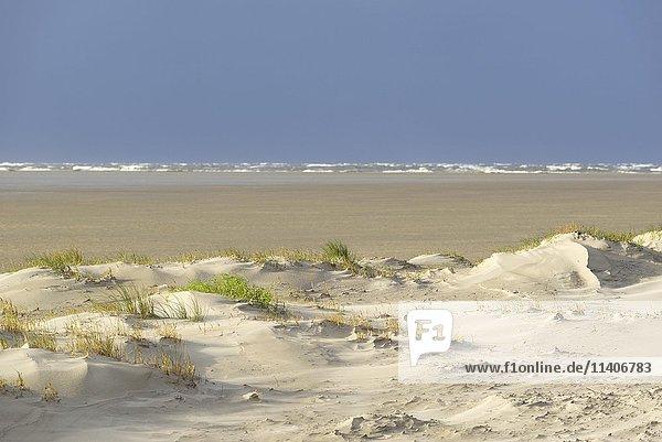 Vordünen mit Sandverwehungen  hinten stürmische See  Sankt Peter-Ording  Nationalpark Schleswig-Holsteinisches Wattenmeer  Nordfriesland  Schleswig-Holstein  Deutschland  Europa