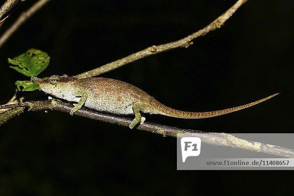 Chamäleon (Calumma linotum)  Weibchen  Montagne d'Ambre Nationalpark  Diana  Madagaskar  Afrika