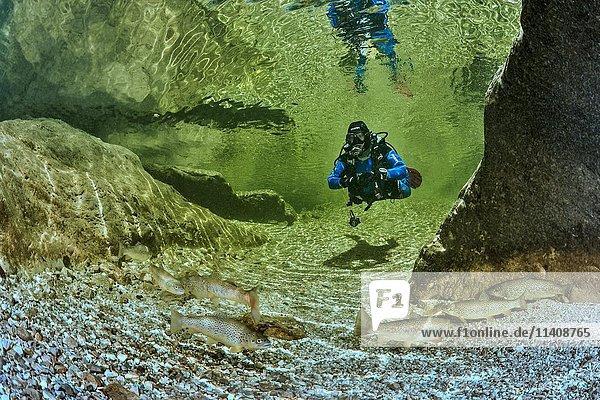 Gumpentauchen  Taucher in einer Gumpe im Weissenbach  vorne Bachforellen (Salmo trutta morpha fario)  Bad Ischl  Österreich  Europa