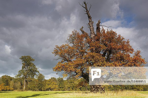 650 year old oak tree with autumn colors  Middle Elbe Biosphere Reserve  Dessau  Saxony-Anhalt  Germany  Europe