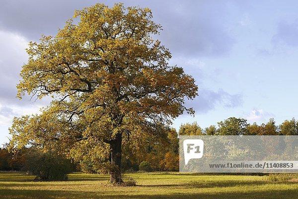 Open meadow in floodplain with solitary oak tree  autumn  Middle Elbe Biosphere Reserve  Dessau  Saxony-Anhalt  Germany  Europe
