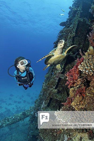 Taucher beobachtet Unechte Karettschildkröte (Caretta caretta) am Schiffswrack Giannis D  Shab Abu Nuhas Korallenriff  Rotes Meer  Ägypten  Afrika