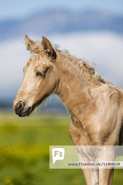 Morgan Horse Fohlen  Portrait  Palomino  Tirol  Österreich  Europa