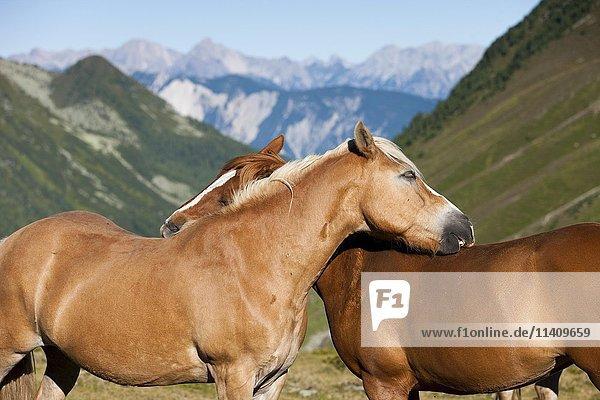 Haflinger horses grooming Kühtai  Tyrol  Austria  Europe
