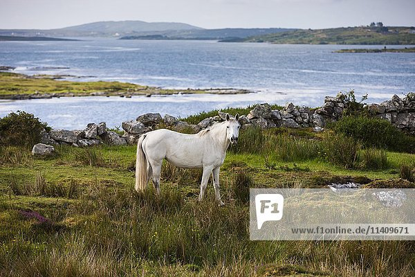 Connemara pony along bay  Connemara  Galway  Ireland  Europe