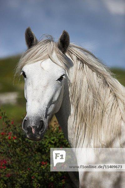 Connemara pony stallion  Connemara  Galway  Ireland  Europe