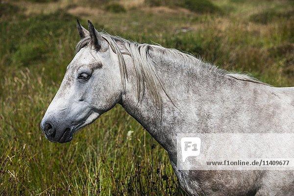 Connemara pony  Portrait  Schimmel  Connemara  Galway  Irland  Europa