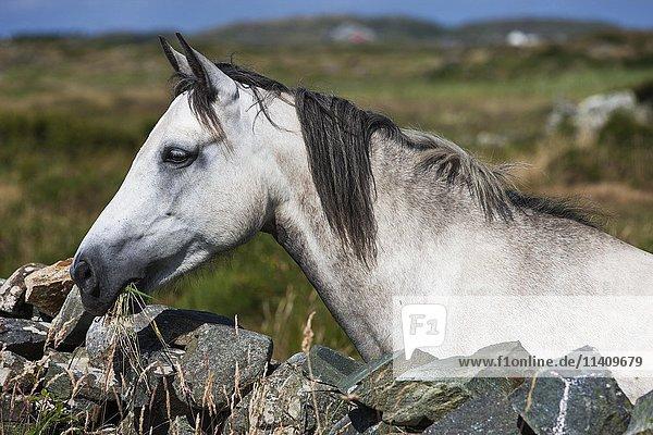 Connemara pony schaut über Steinmauer  Portrait  Schimmel  Connemara  Galway  Irland  Europa