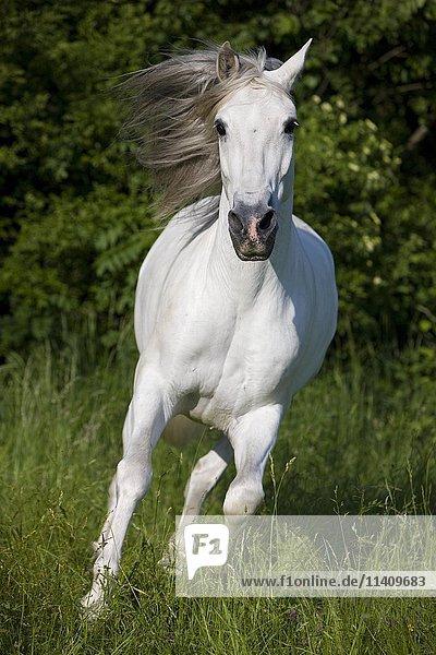 PRE  Pura Raza Espanola  Andalusian horse  galoppiert im hohen Gras auf Wiese  Schimmel  Nordtirol  Österreich  Europa