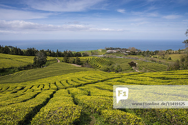 'Gorreana Tea Plantation  Azores is the only place in Europe where tea is growing; Sao Miguel  Azores'