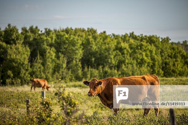 'Brown cows in a pasture with a forest on the edge; Saskatchewan  Canada'