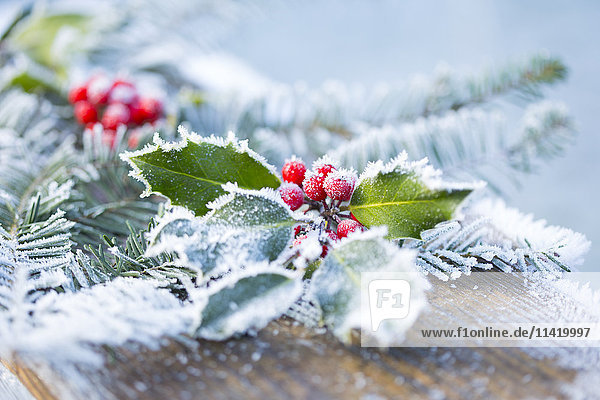 'A holly branch with berries and fir boughs covered in frost on a wooden board in selective focus; British Columbia  Canada'