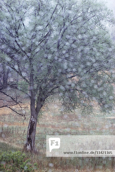 'Out of focus rain drops frame an elm in early spring  Dakota County; Minnesota  United States of America'